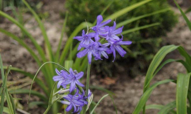 Иксиолирион татарский: выращивание