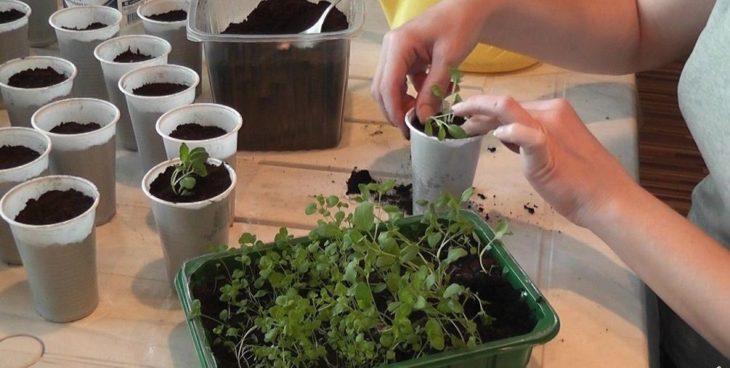 Выращивание иссопа рассадой