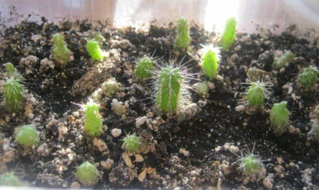Размножение клейстокактусов