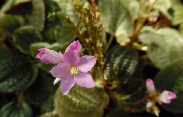Цветущая бертолония
