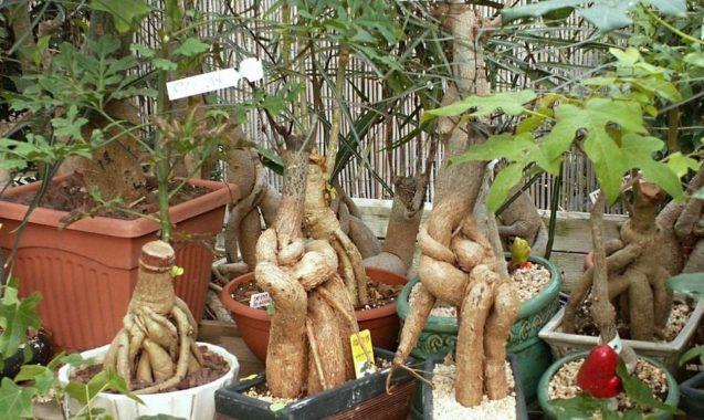 Дерево Бранхихитон