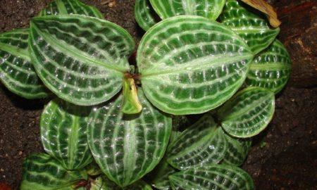 Комнатное растение геогенантус