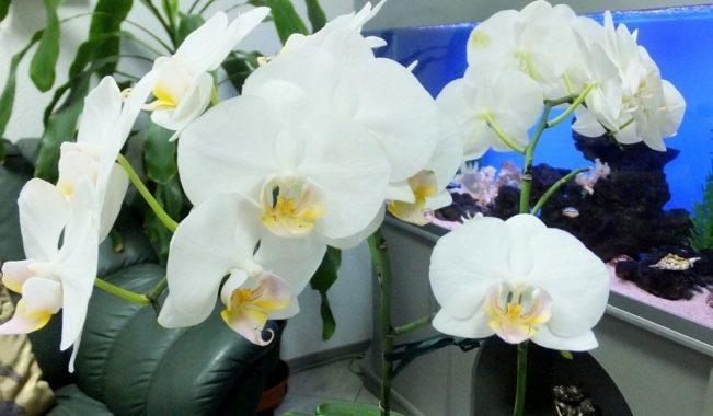 Орхидея доритенопсис: уход