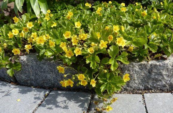 Растение Вальдштейния