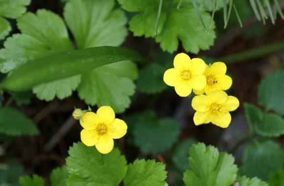 Тройчатая (Waldsteinia ternata)