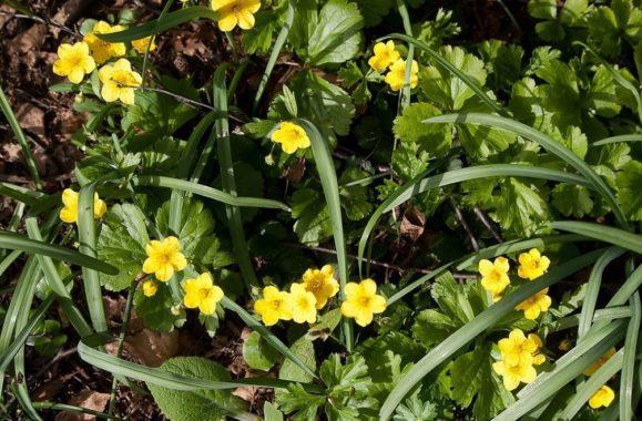 Земляниковидная (Waldsteinia Fragaroides)