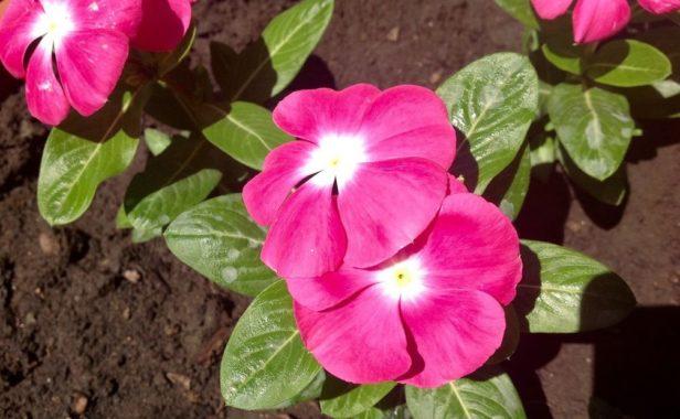 Пикировка цветов барвинка