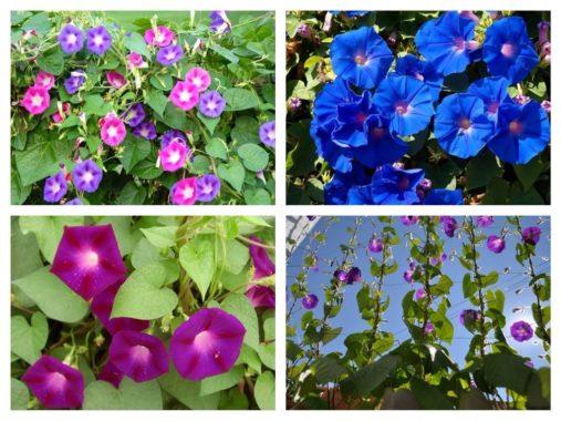 Сорта фарбитиса пурпурного