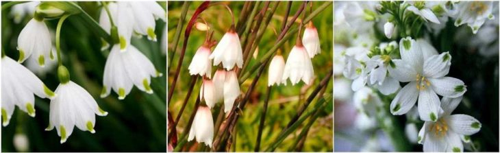 Виды белоцветника