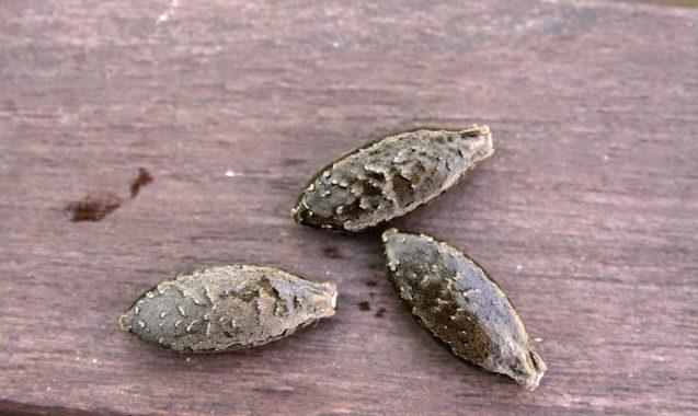 Семена бешеного огурца
