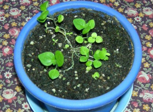 Выращивание броваллии из семян