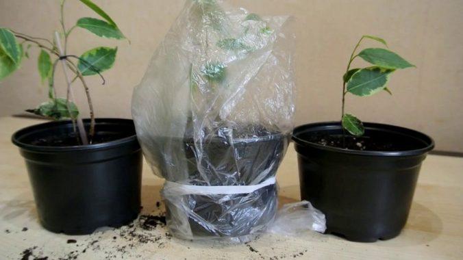 Выращивание бонсая черенками
