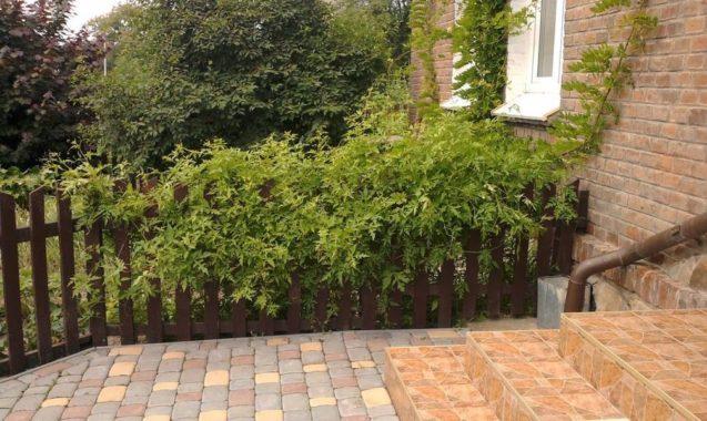 Зеленая ограда из Виноградовника