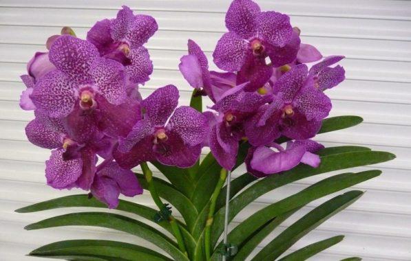 Условия содержания орхидеи Ванда