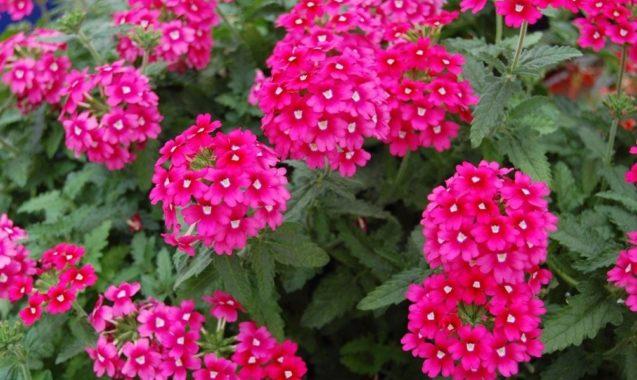Яркие цветы вербены
