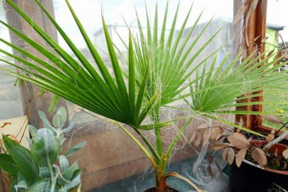 Температурный режим для пальмы