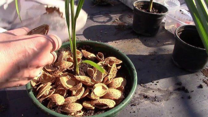 Ростки пальмы вашингтонии