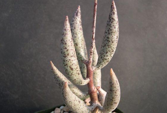 Адромисхус тонкостебельный (A. filicaulis)