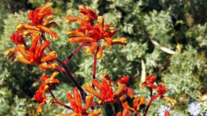 Выращивание анигозантоса