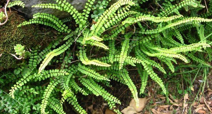 Асплениум волосовидный