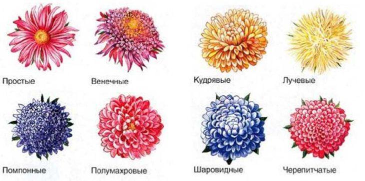 Типы соцветий астры