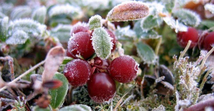 Зимовка садовой брусники