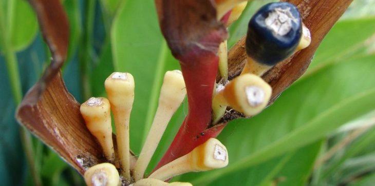Семена геликонии