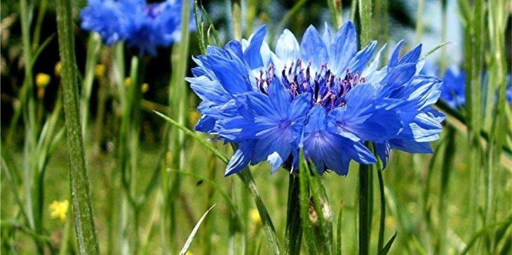 Василек синий (полевой или голубой)
