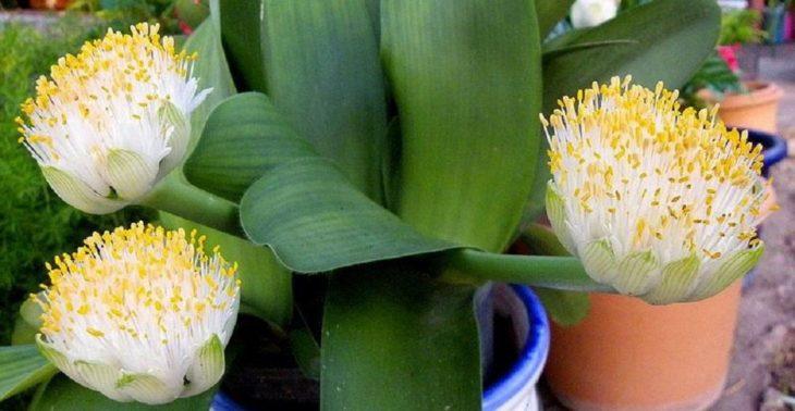 Белоцветковый гемантус