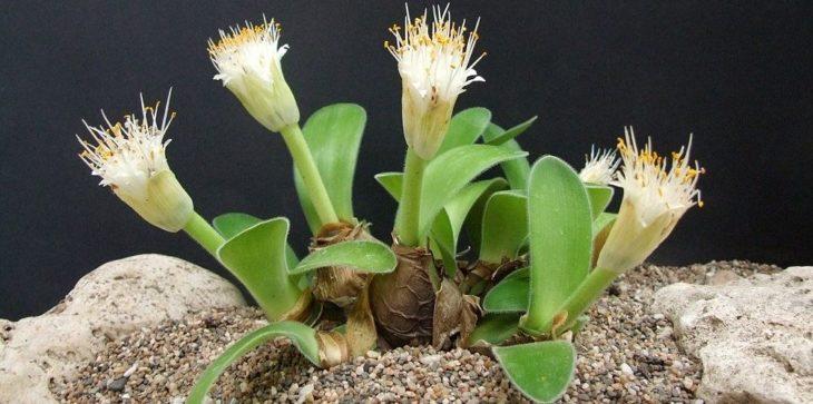 Гемантус: ростки