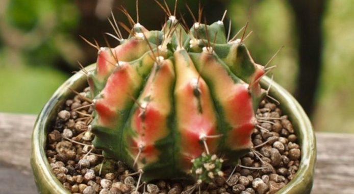 Прививка бесхлорофилльных кактусов