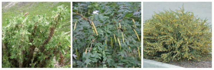 Виды караганы кустарниковой