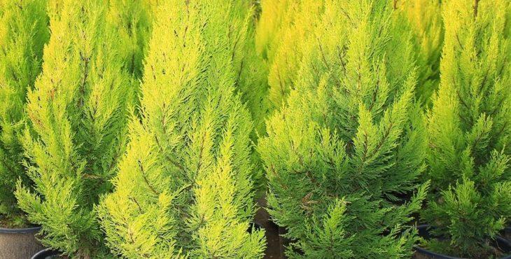 Температура и влажность воздуха при выращивании кипариса