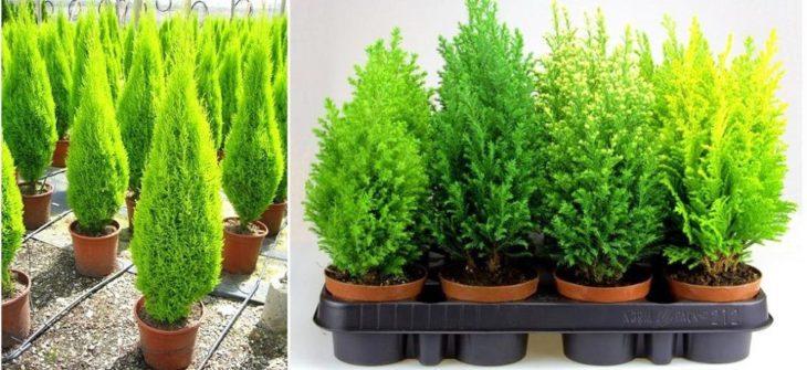 Выращивание кипарисовика в домашних условиях