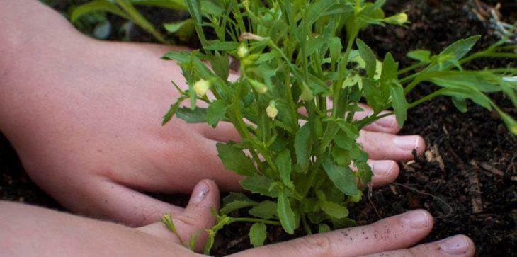 Как посадить лобелию