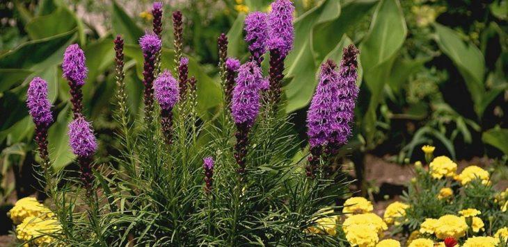 Как вырастить лиатрис из семян