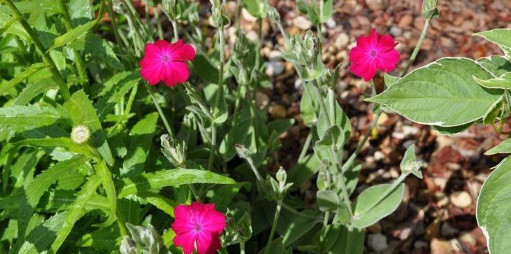 Уход за лихнисом после цветения