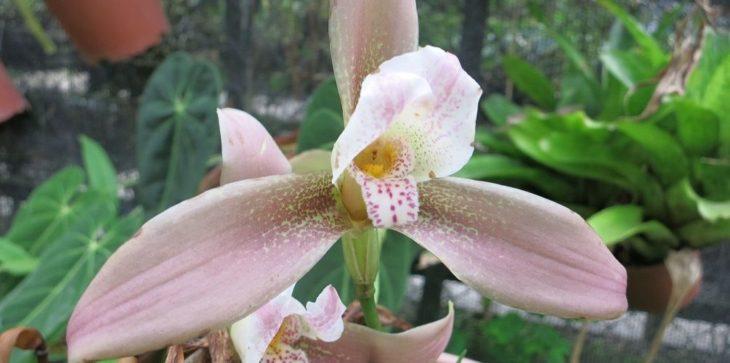 Орхидея ликаста: описание
