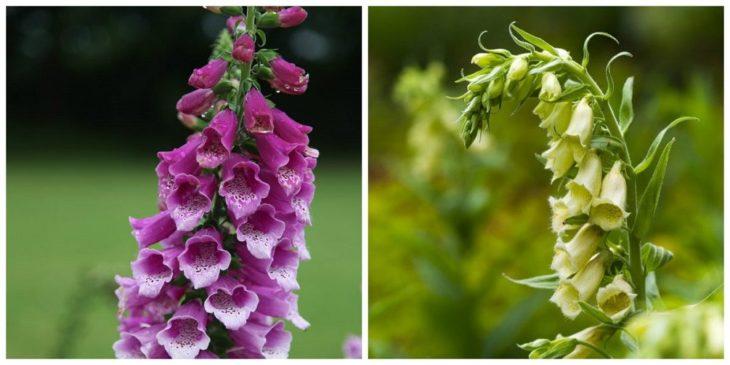 Наперстянка пурпурная, крупноцветковая