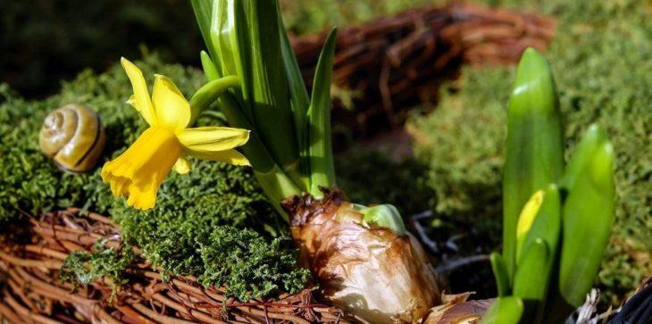 Нарцисс из луковицы