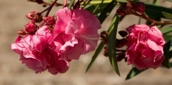 Как посадить и вырастить олеандр