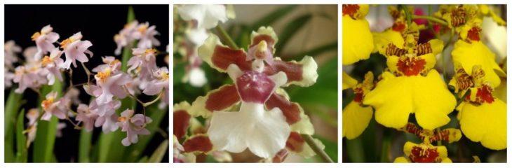 О. Попкорн Харури, Курчавый (Oncidium cricpum), Aloha Ivanaga