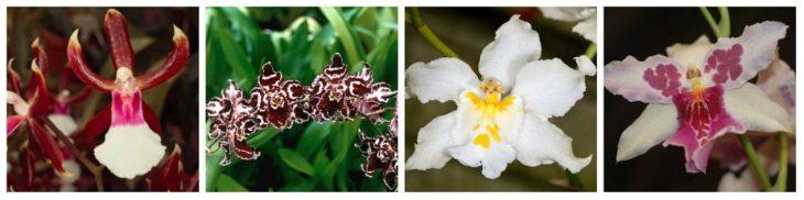Орхидея одонтоглоссум: сорта и виды