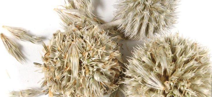 Семена мордовника: полезные свойства