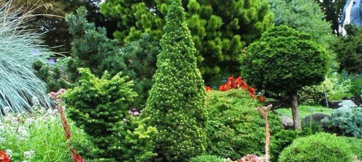 Хвойные деревья: удобрения