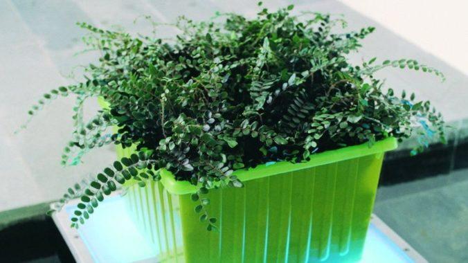 Как выращивать круглолистную пеллею в домашних условиях