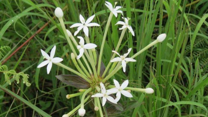 Пентас длинноцветковый