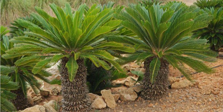 Саговник поникающий (Cycas revoluta)