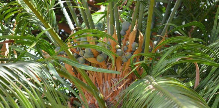 Саговник завитой или улитковидный (Cycas circinalis)