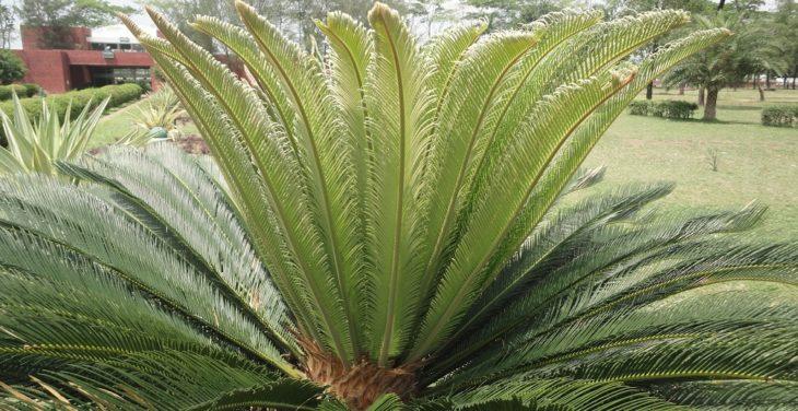 Саговник гребенчатый (Cycas pectinata)